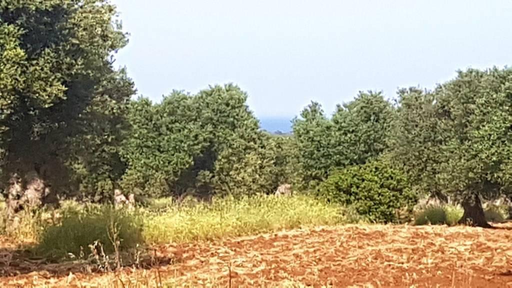 Terreno panoramico edificabile 16.000 mq con ulivi secolari