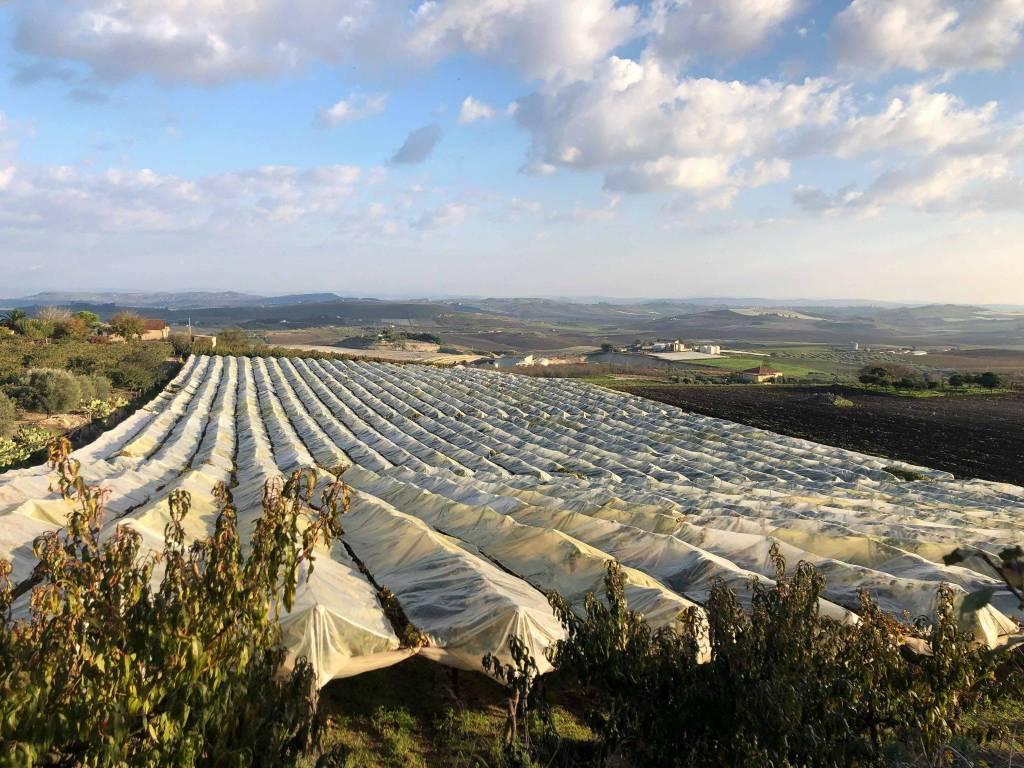 Vendesi appezzamento di terreno impiantato Cda Grottarossa